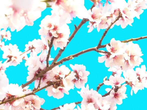japanskt körsbärsträd turkos liten